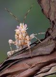 Stacheliger Mantis auf Rebe Stockbild