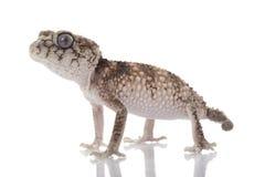 Stacheliger rauer Knopf-angebundener Gecko stockfotografie