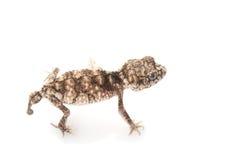 Stacheliger rauer Knopf-angebundener Gecko Stockfoto