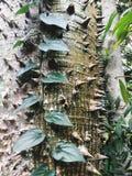 Stacheliger Regenwaldriese Stockfotos