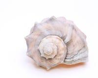 Stacheliger Seashell Stockbild