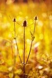 Stacheliges Gras in den letzten Strahlen des Sun Stockfotografie