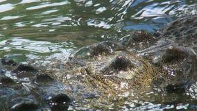 Stacheliges Krokodil-Endstück im Wasser stock video