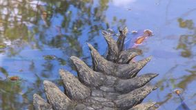 Stacheliges Krokodilendstück, das in Wasser eintaucht stock footage
