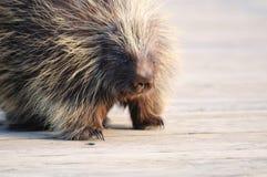Stachelschwein auf hölzerner Brücke im Tier-Schongebiet Lizenzfreies Stockbild