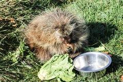 Stachelschwein, das Gemüse isst Lizenzfreie Stockfotos