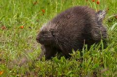 Stachelschwein (Erethizon dorsatum) geht nach links Stockfotografie