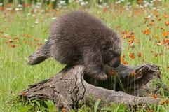 Stachelschwein (Erethizon dorsatum) tritt weg vom Klotz Stockbilder