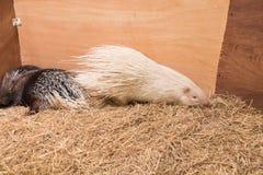 Stachelschwein im Bauernhof Stockbild