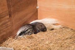 Stachelschwein im Bauernhof Lizenzfreies Stockbild