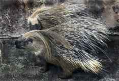 Stachelschwein in seiner Einschließung Stockbild