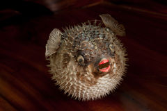 Stachelschweinfische Stockfotografie