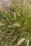 Stachy-byzantina Blatt-Betriebs-wolly mehrjährige Pflanze lizenzfreies stockfoto