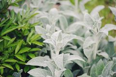 Stachys byzantina Lamb Ears planted in flowerbed with hostas and other perennial in summer garden. Plants with silver foliage in landscape design Stock Photo