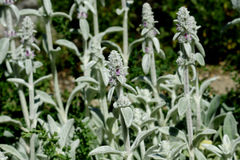 Stachys byzantina, lamb's-ear Stock Image