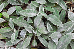 Stachys leaves background Stock Images