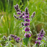 Stachys persica, aa ornamental plant lambs ears Stock Photography