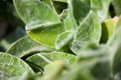 Stachys plant closeup Stock Photo