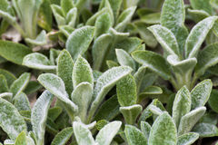 Stachys Woolly, greenery garden plants at springtime. Detail Royalty Free Stock Photo