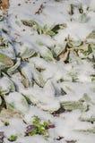 Stachysbyzantina i vinter arkivbild