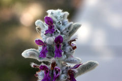Stachysbyzantina, Lamb& x27; s-öra ullig hedgenettle royaltyfria foton