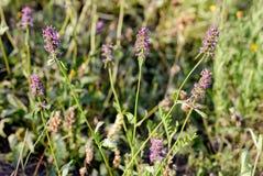 StachysOfficinalis blommor royaltyfria bilder