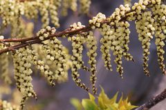 Stachyurus Praecox. A spectacle that hangs over a lot of flowers in grape shape in the field around March is a spectacular view Stock Images