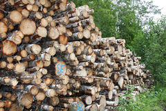 Stack of Birch logs in forest Royalty Free Stock Image