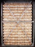 Chicken eggs. Stack of chicken eggs  `incubation Royalty Free Stock Photo