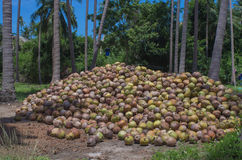 Stack of the coconut in farm for coconut oil industry Royalty Free Stock Images