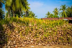 Stack of the coconuts in farm for coconut oil Stock Photography
