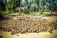 Stack of the coconuts in farm for coconut oil Stock Photo