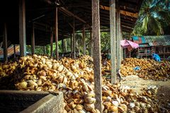 Stack of the coconuts in farm for coconut oil. Stack of the coconut in farm for coconut oil industry on Koh Samui Royalty Free Stock Photo