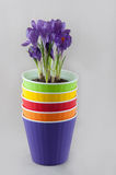 Stack of colored flowerpots and purple crocus inside Stock Photos
