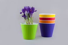 Stack of colorful flowerpots and purple crocus Stock Photo