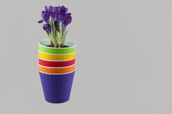 Stack of colorful flowerpots and purple crocus. Space for text Royalty Free Stock Image