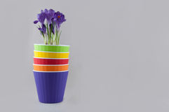 Stack of colorful flowerpots and purple crocus. Space for text Stock Images