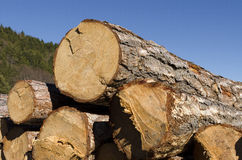 Stack of coniferous timber in the Rhodope Mountain. In Bulgarian countryside Royalty Free Stock Images