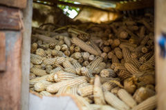 Stack of corn cobs in african storeroom Royalty Free Stock Image