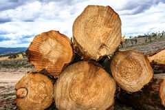 Stack of cut logs in forestry Stock Photography