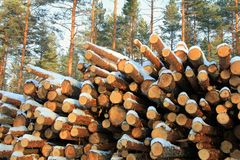 Stack of Cut Pine Logs in Winter Pine Forest Royalty Free Stock Photography
