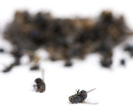 Stack of dead flies and wasps, isolated. On white royalty free stock photo