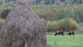 Stack of dry hay and two colorful cows are fed on hayfield. Hay harvesting for private sector small farm. Stack of dry hay and two colorful cows are fed on stock footage