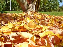 Stack of dry leaves under the tree. Stack of fallen dry colorful leaves under the tree royalty free stock photography