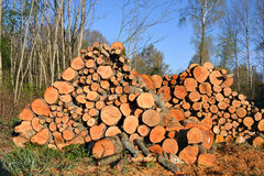 Stack firewood logs in forest Royalty Free Stock Photography