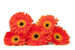 Stack of Five Bright Gerber Daisies. Five orange and yellow gerber daisies stacked, isolated on white with clipping path Stock Photo