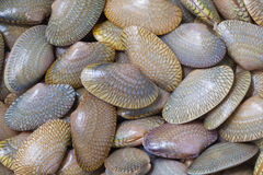 The stack of fresh clams Royalty Free Stock Photo