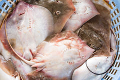 Stack of fresh stingray in basket sold in fish dock market Royalty Free Stock Photo