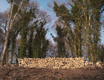A stack of freshly cut logs. In a wooded landscape Royalty Free Stock Photo