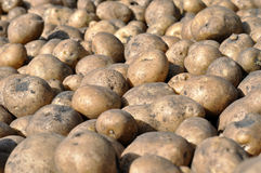 The stack of freshly harvested potato Royalty Free Stock Images